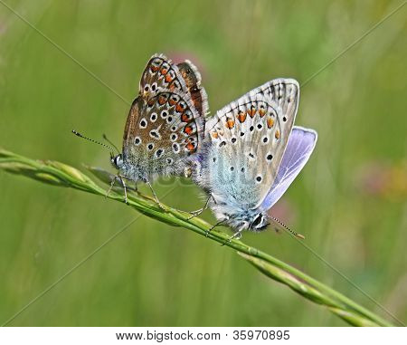 The mating butterflies