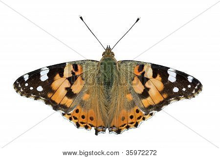"butterfly - ""painted lady"""