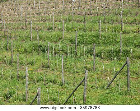 Grapevine vitis