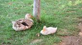 image of mother goose  - Mother goose and its baby sit under tree near water - JPG