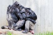picture of chimp  - Two sitting chimps on a rock doing pair grooming - JPG