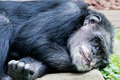 stock photo of chimp  - Closeup of a lying chimp looking relaxed - JPG