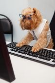 foto of working animal  - Dog Manager works for a computer looking at the monitor - JPG