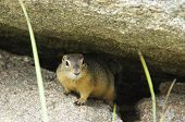 picture of gopher  - Gopher looking for people - JPG