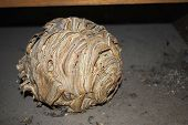 Wasps nest, common wasp (Vespula vulgaris)