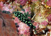 foto of flatworm  - Cristate Neon Slug  - JPG
