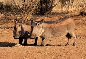 stock photo of bosveld  - Alert Warthogs Eating Feeding Pellets in Bushveld