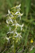 stock photo of rare flowers  - Lesser Butterfly Orchid flower  - JPG