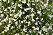 foto of lobelia  - Many white small flowers as a background  - JPG