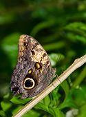 Owl butterfly (Caligo)