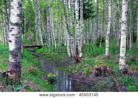 Birch Forest With Gully