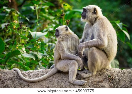 Blace faced monkeys, grey langurs sitting on a tree in Rishikesh, India