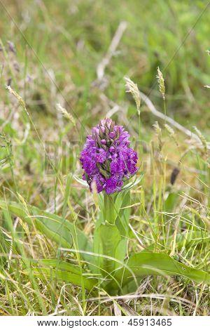 Irish Purple Wild Orchid