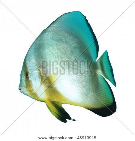 Orbicular Spadefish (Batfish) isolated on white background