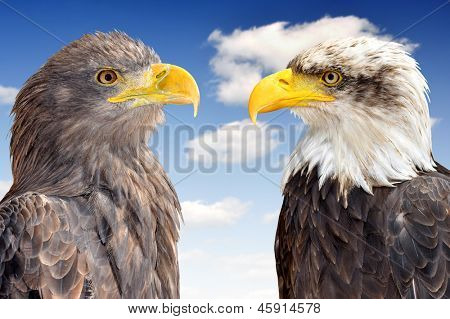 Bald Eagle with Sea Eagle