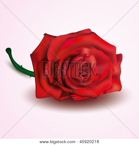 Red Rose isolated on white and pink background
