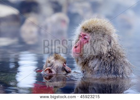 Japanese Snow Monkeys (macaques) in Nagano, Japan.