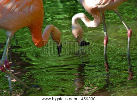Two Flamingos Drinking