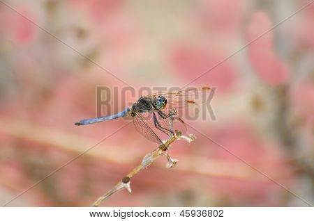 Dragonfly On Pink Bokeh Background