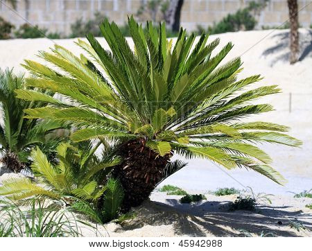 Cycas Revoluta - King Sago - Sago Cycad - Japanese Sago Palm