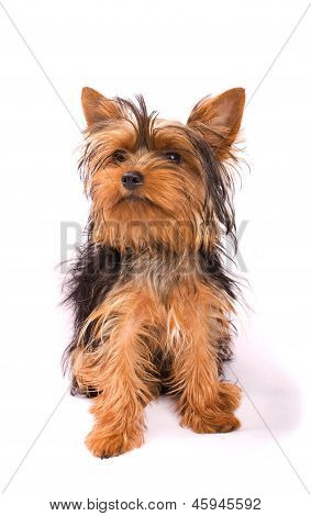 Yorkshire Terrier Isolated On A White Background