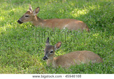 Deer  Resting In A Meadow