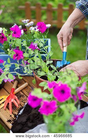 Planting surfinia flowers, gardening concept