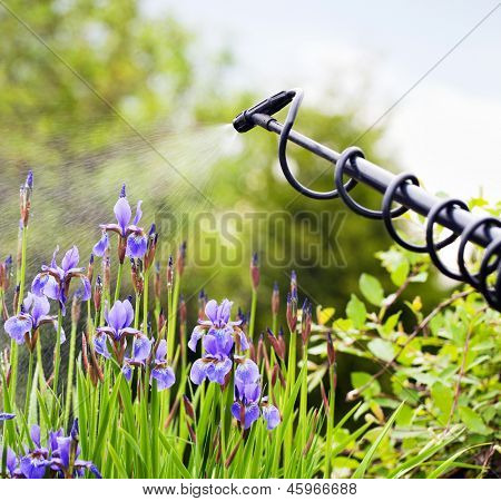 Protecting iris flower from fungal disease, gardening concept