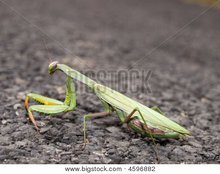 Green Praying Mantis