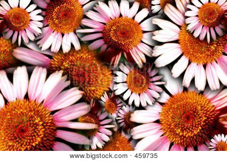 Echinacea Flowers Background