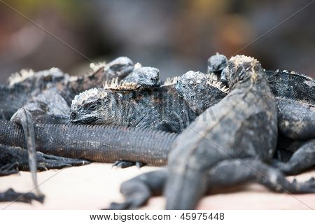 Endemic Galapagos marine iguanas on rocks