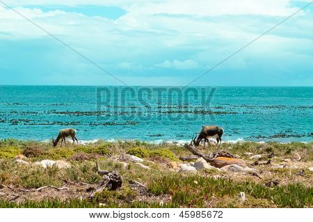 Ostrich (struthio Camelus) By The Coast At The Cape Of Good Hope, South Africa.