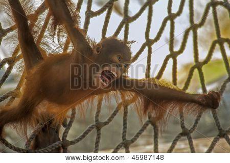 Baby Orangutan Screaming
