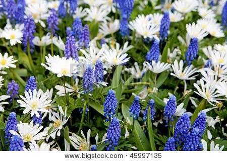 Field With Blue Muscari Botryoides And White Myosotis