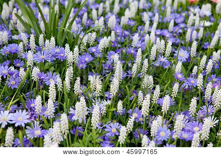 Field With White Muscari Botryoides