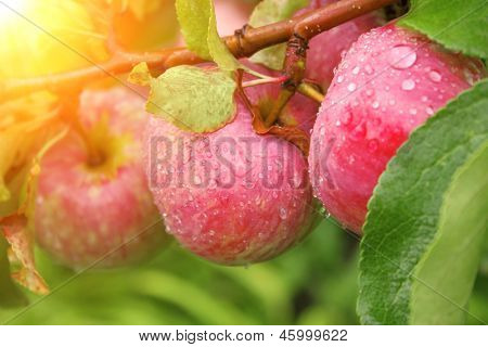 Rain drops on ripe apples