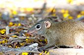 stock photo of shrew  - Common tree shrew Tupaia glis in thailand - JPG