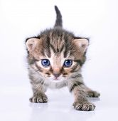 stock photo of blue tabby  - Studio portrait of a cute littel 2 weeks old kitten - JPG