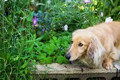 picture of long hair dachshund  - Blond long hair miniature dachshund in the flower garden - JPG