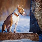 Bull Terrier On Walk In Park.