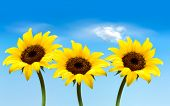 foto of sunflower-seeds  - Nature background with three yellow sunflowers - JPG