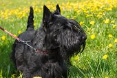 picture of scottie dog  - Black dog Scottish Terrier breed standing on a yellow - JPG