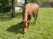 pic of feedlot  - sunny rural scenery including a brown cow - JPG