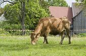 picture of feedlot  - sunny rural scenery including a brown cow - JPG
