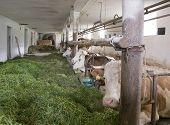 stock photo of feedlot  - some cows inside of a cow barn in Southern Germany - JPG