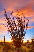 picture of ocotillo  - Flaming Ocotillo with burning sky at sunset - JPG