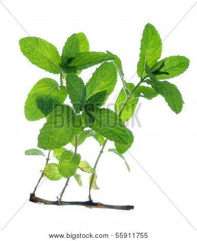 Mint Tree