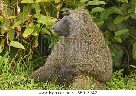 Male Olive Baboon In The Jungle