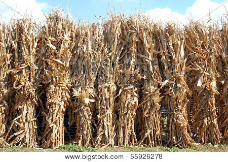 Many Dried Corn Bunch