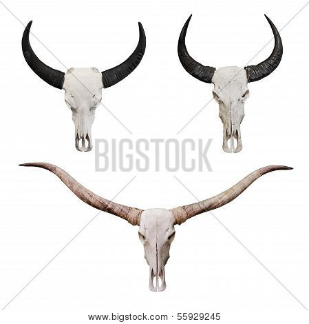 Skull of ox or bull head